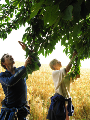 Picking cherries with Madhubala, in Niederheimbach, on the Rhine river, Germany